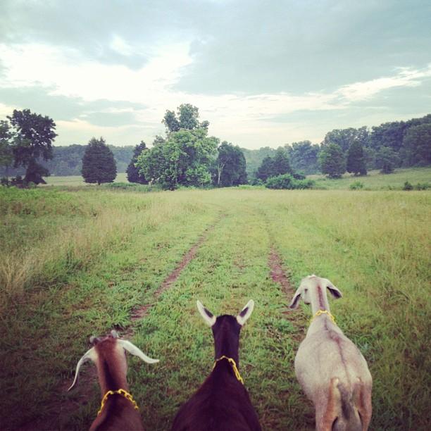 pasture-walk-goats.jpg
