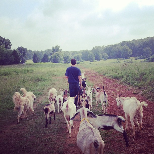 Walking the herd back to pasture for the first time.