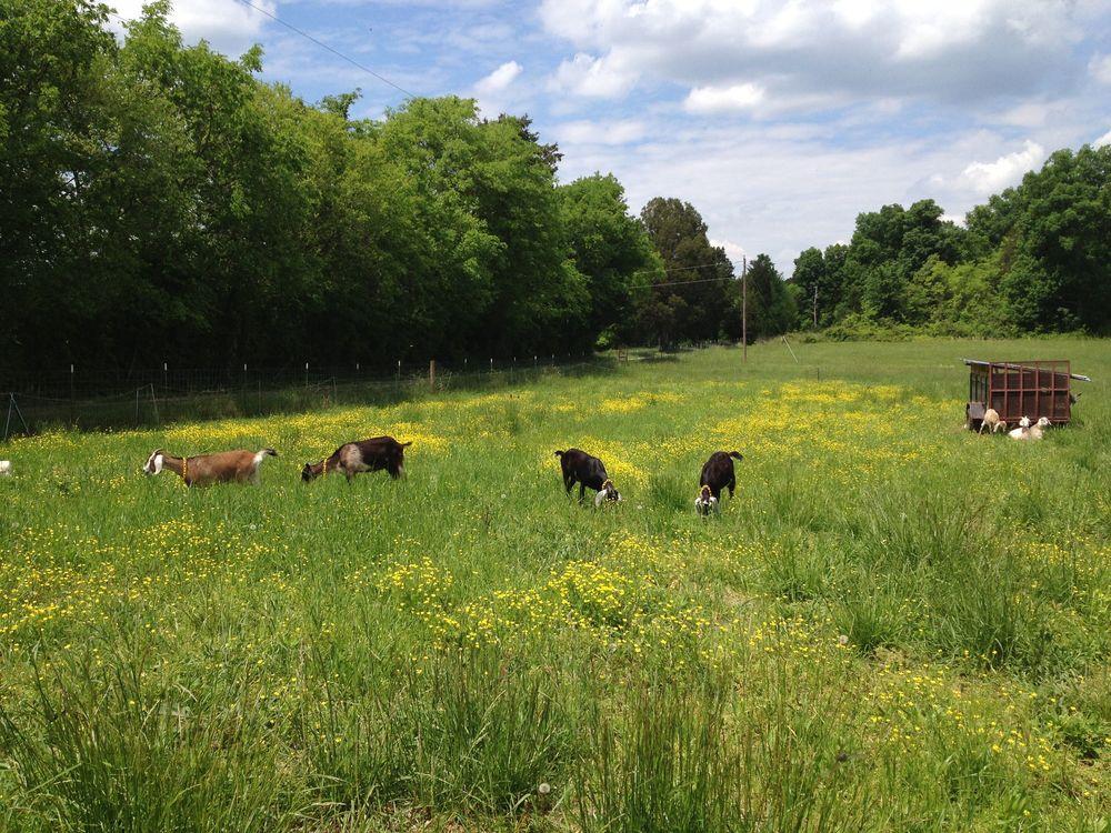 grazing-goats-little-seed.jpg