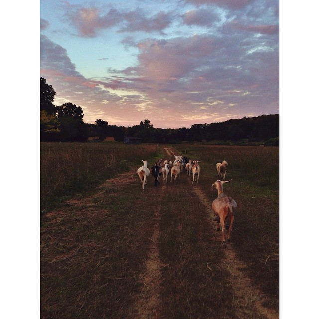 The sun sets right when the goat's are done with the evening milking. Back to their paddock they go.