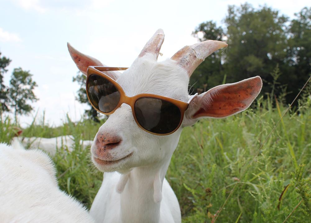 baby-goat-sunglasses.jpg