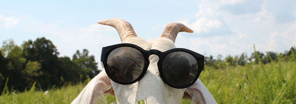 peeking-sunglasses-goat.jpg