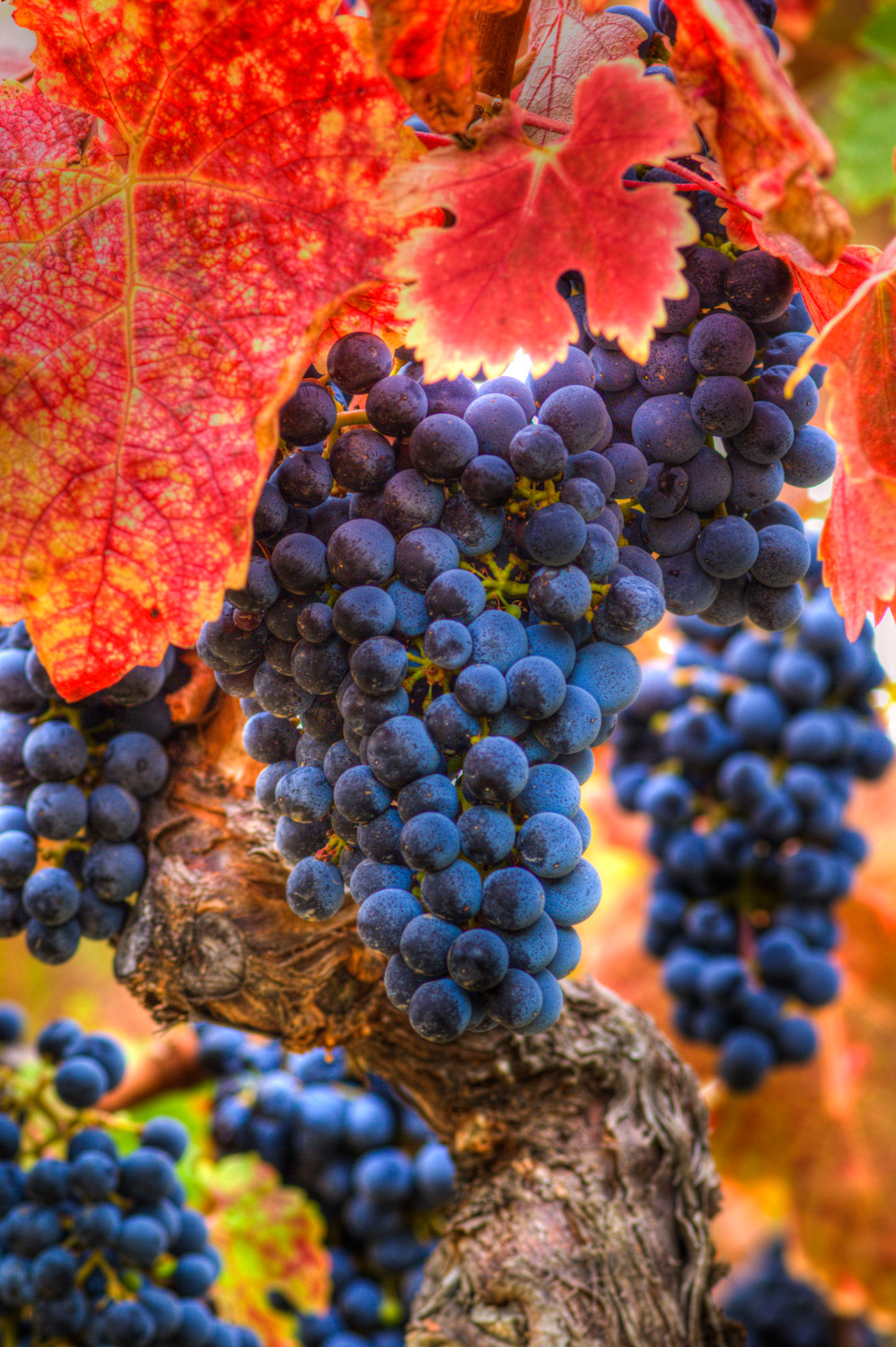 Napa Commercial & Industrial Photography-Wine grapes ready to harvest