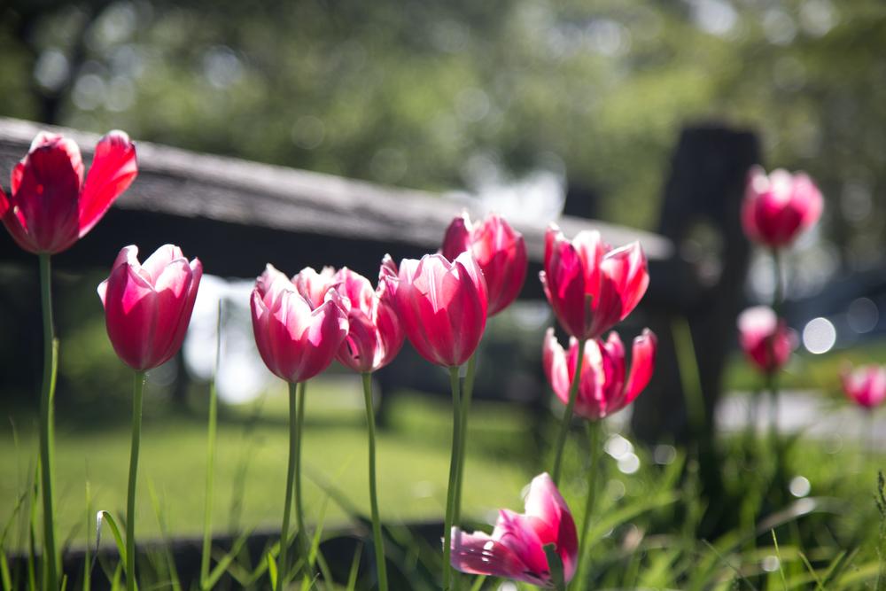 134 // 365 Translucent tulips