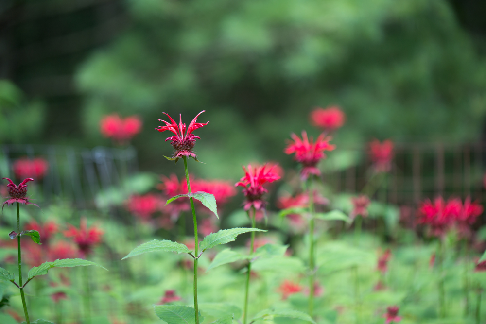 191 // 365 Bee balm on day 2 of camping