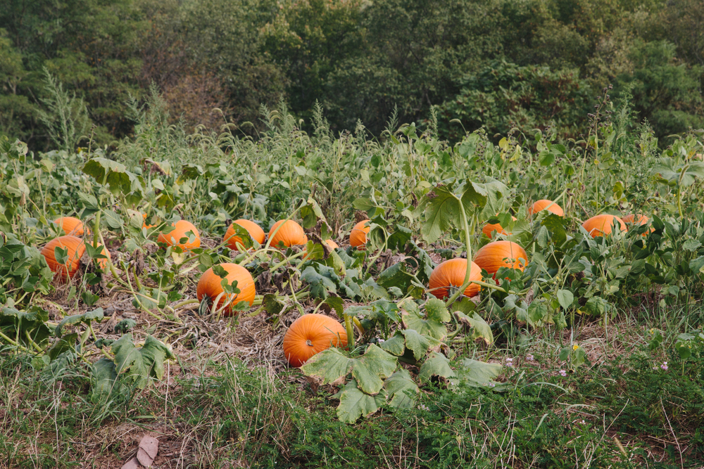 262 // 365 Came across a giant pumpkin patch on the way to shoot a wedding in the country