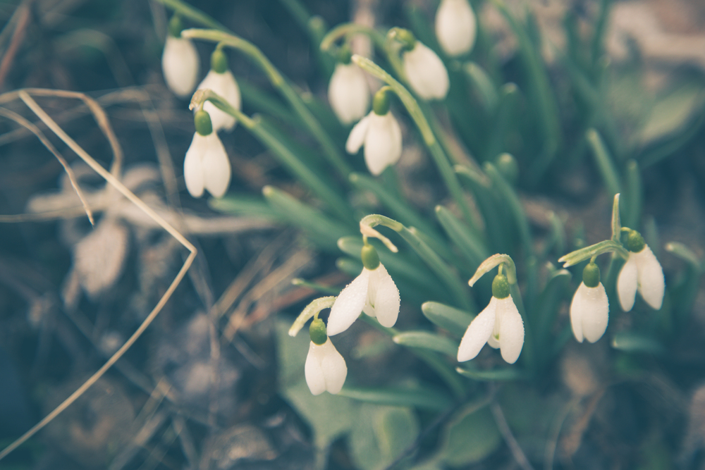 53 // 366 Early snowdrops!