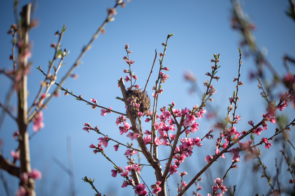 112 // 366 Spring nest in a peach tree