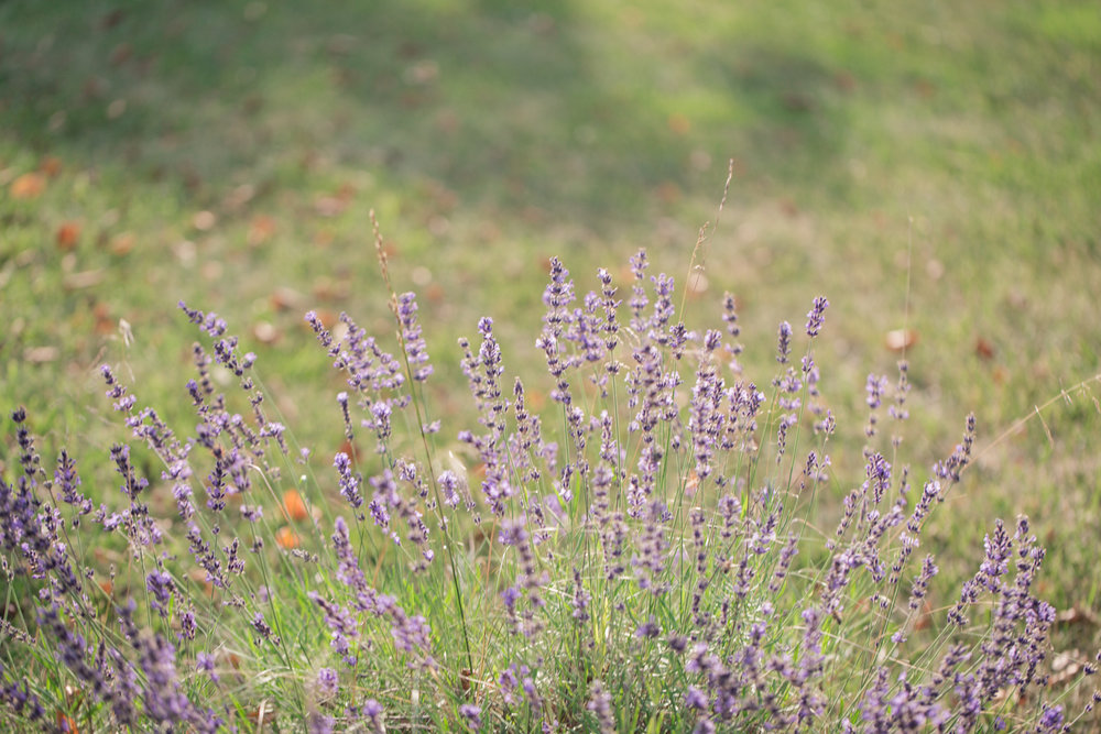 189 // 366 Lavender at Gram's