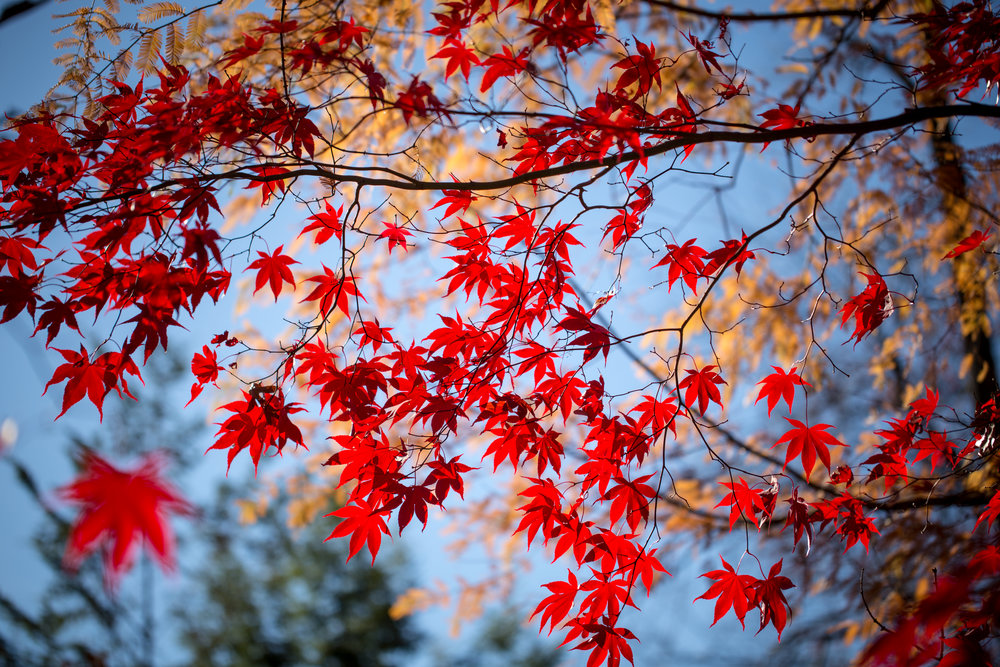 318 // 366 Fall Japanese maple