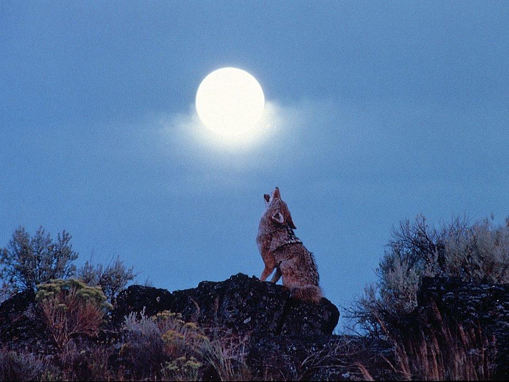 Howling Coyote.jpg