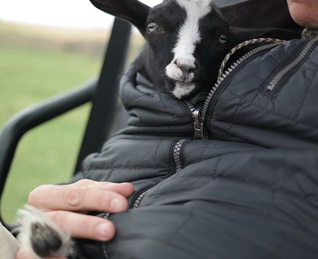 Goat in my coat  #ranchlife