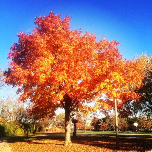 Here is a picture of a pretty tree that I took in the park. We have had a nice fall weather-wise haven't we?