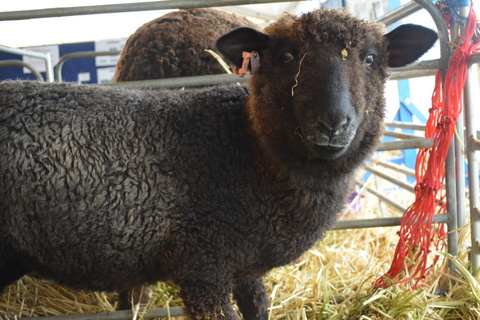The English Leicester lamb that won best hand craft fleece at the 2013 Australian Sheep and Wool Show.