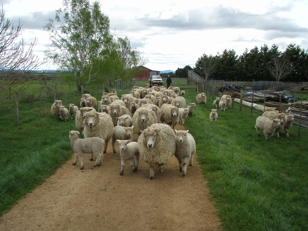 Part of the Melton Park English Leicester flock.