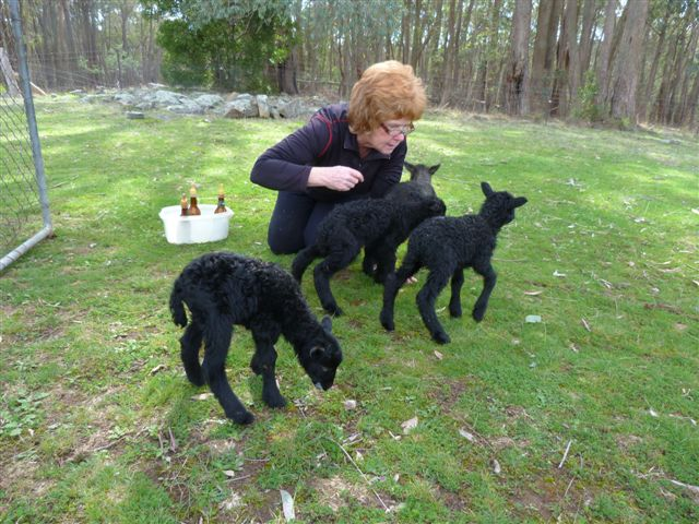 Cheryl Crosbie w Gotland lambs 2013.jpg