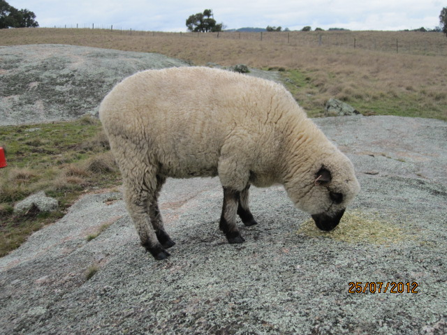 Shropshire sheep from Clarendon stud in Victoria.