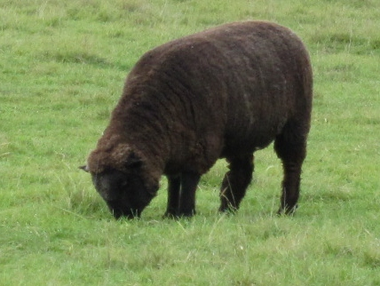 A rare, black Shropshire sheep.