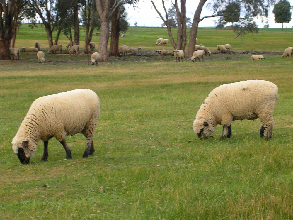 Ewes grazing near Henty  at Jarambula Hampshire Down Stud.