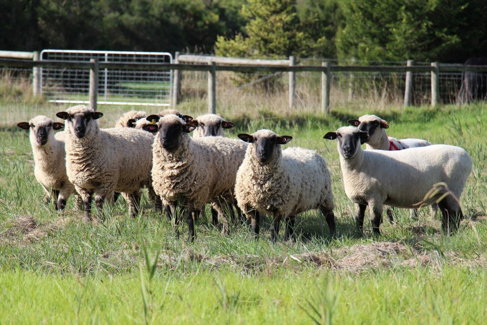 Hampshire Down flock at Boonong.
