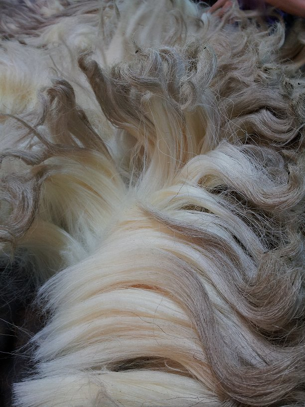 Close up of Drysdale fleece shows the lack of crimp and what one purchasing an unwashed fleece might expect.