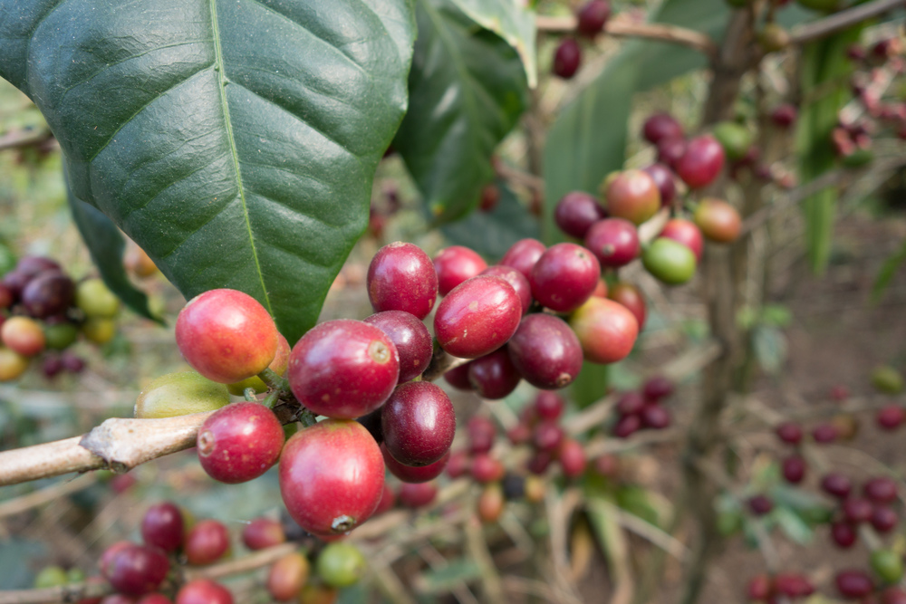 From Fruit to Seed: A Pacamara Tasting