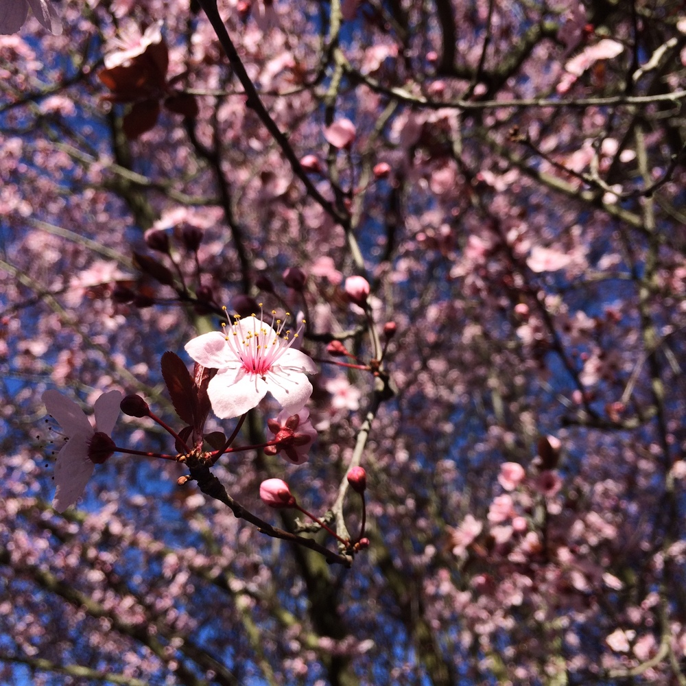 Cherry Blossom  //  Photo by Rachel Emery