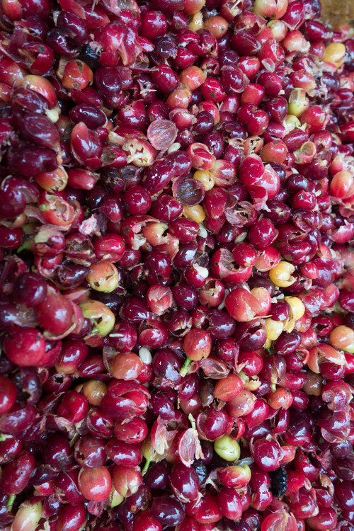 coffee cherry pulp from the coffee that tastes like...