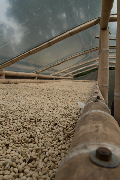 coffee in parchment drying on beds