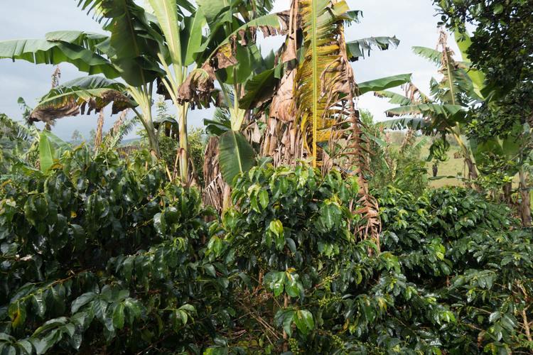 Castillo Tambo and Plantains