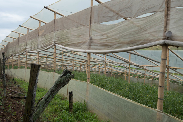 greenhouse full of tomatoes