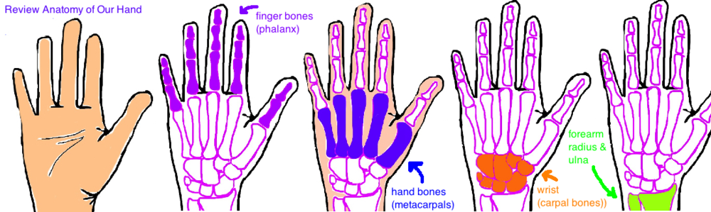 hand anatomy flexor tendons