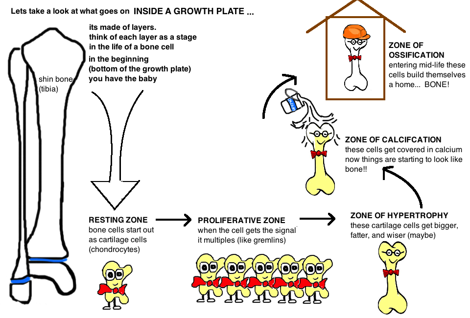 LAYERS of the GROWTH PLATE resting zone proliferative zone zone of hypertrophy zone of calcification zone of ossification