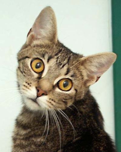 Padme, a sweet 3 year old female kitty who will make a wonderful companion.