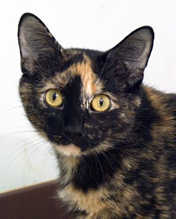 Hershey is a very sweet momma kitty who has done her duty raising her babies and making sure they found homes first.  Now it is her turn to find a home to love her and give her all the attention she deserves.  Stop by PETCO in Waukesha to meet Hershey today!