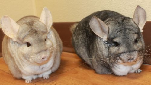 Misty and Dawn, the Chinchillas!