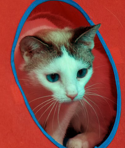 "Beauty is a young female kitty looking for a castle to rule.  She is headstrong and loves to snuggle on her terms.  She will need someone to play with her daily to get out her extra energy.  Stop by HAWS today to meet our ""Beauty""!"