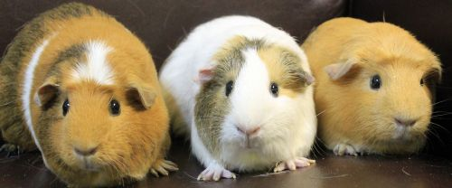 This is a fun trio of adorable guinea pigs and must be adopted together. They love to scamper about so they will need a good size home. They love their green leafy salads everyday and will share with their human caretakers. To learn about guinea pigs go to  www.guinealynx.info .