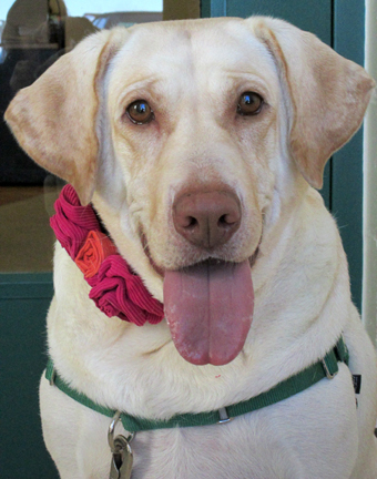 Ellie is an exuberant yellow lab.  She has lots of energy and hopes to find a family as active as her.  She loves her butt scratches and doesn't want to share her family with any other animals.  Please stop by HAWS today to meet this beauty!