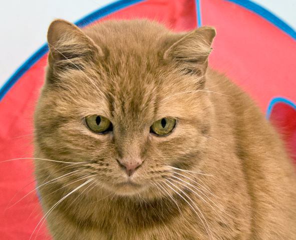 Mr. Dumpling is an adult male cat looking for a home to rule.  He is very friendly and loves his cat cuddlers.  He has a distinguishing face and a beautiful thick orange coat.