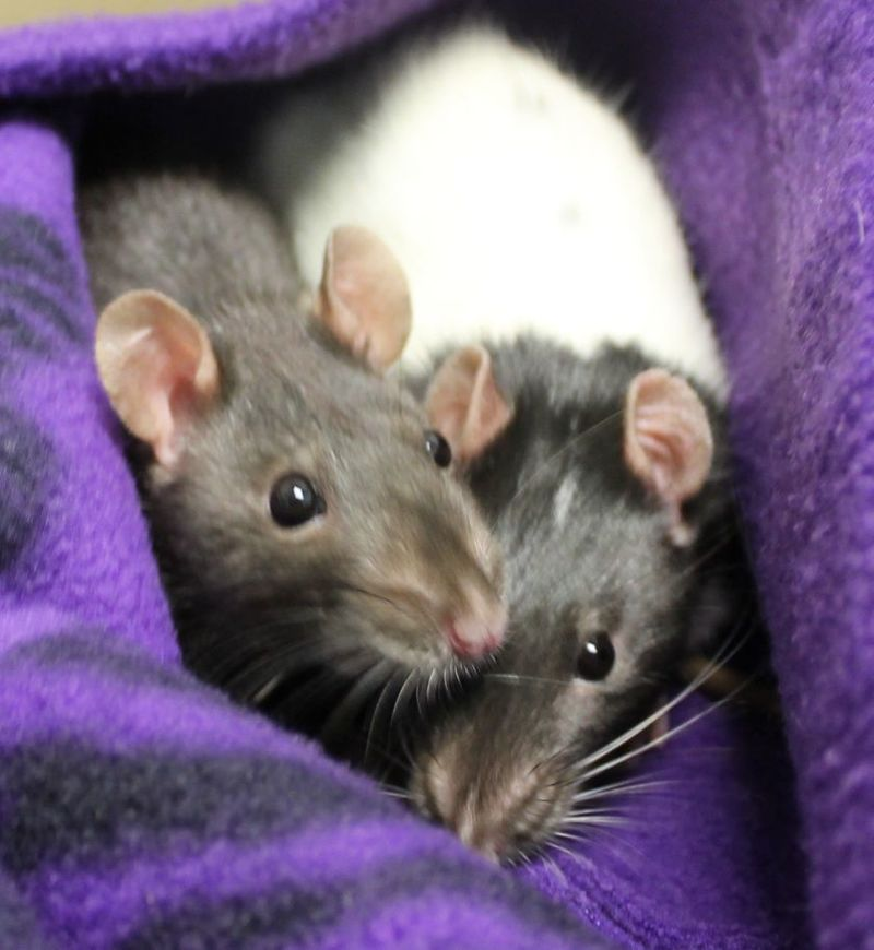Anya and Iyra are a pair of survivors that have quite the story.  A couple weeks back these two and over a dozen of their friends were thrown in a snowbank to perish.  Luckily someone found them and brought them to HAWS.  After a couple weeks of being under veterinary care they are now ready to find a home that will treat them like they deserve.  Please stop by to meet Anya and Irya and their friends!