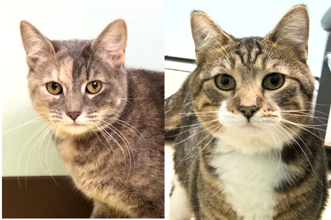 Hunter and Layla have been at the shelter for a couple months now. They are amazing kitties that are the best of friends and will definitely keep you entertained!! They are outgoing and don't shy away from much...so stop by today to meet this lovely couple!