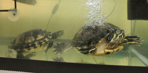 Tulip and Tonta are a pair of yellow bellied sliders that can be adopted together if you can provide them with a very large tank to live in with a large warm basking area to come out of the water. They will need at least an 80 gallon, but larger would be preferred, so they have lots of room to swim about without bumping into each other. Space should be in width not height. Tulip is a big girl, about 9 inches across. Tonto is much smaller but he is a very frisky fellow who pesters Tulip a lot and she can get very annoyed at him so a small tank does not work for them. To learn about Yellow Bellied Sliders go to  Austin's Turtle Page . Then come in and visit them!