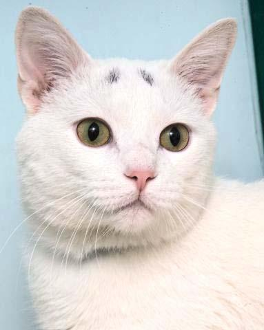 Scout is a beautiful 6 year old male kitty that loves life and he takes it as it comes. He is very cuddly and loves his people. Currently Scout is living at the Petco in Delafield as part of a special program that Petco has to help homeless pets find homes first!