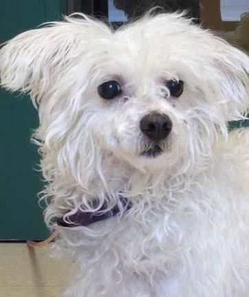 Buju is an 8 year old Bichon mix.  Buju enjoys walks in the sunshine and needs a nice quiet home to come home to.  He promises to be a wonderful companion to anyone that adopts him.  He hopes his new owner will take him to a  dog training class so he can really get to know them and gain a little confidence!