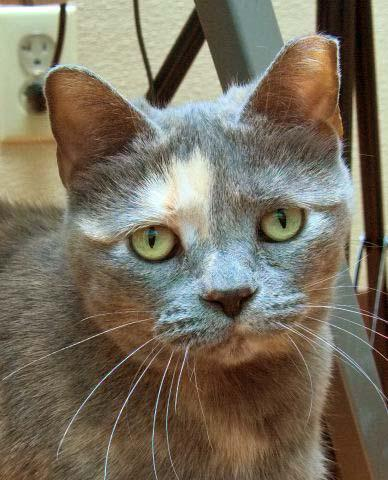 Sandie is a wonderful 8 year old female kitty who is easy going and takes life how it comes.  She is used to having multiple feline friends and would do well in just about any home.  Sandie is a beautiful pastel tortie and her markings are stunning!