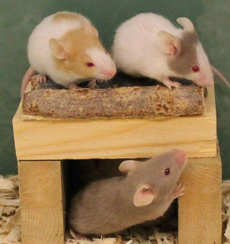 HAWS currently has many pocket pets looking for homes including these male mice.  These boys would prefer a home all to themselves but if it is a pair of pocket pets you are after be sure to visit are female mice who are more social with others.