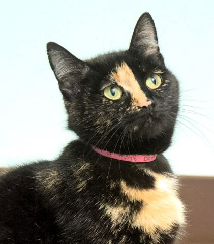 "Boo Peep is a sweet ""little"" female tortie looking for a forever home.  She is currently residing at the Petco in Waukesha  greeting all of the shoppers!  Next time you are out and about be sure to stop by to say hi!"