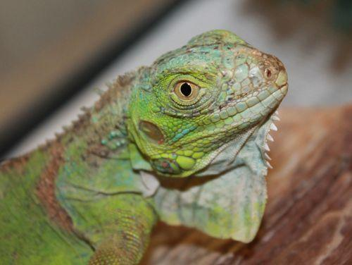 Iggy is a young Iguana who is quite small at the moment, but will be almost 5 foot long from nose to tail tip when he is all grown up! He is easily handled and loves his fruits and veggies. Please go to  http://www.anapsid.org/iguana/  to learn about caring for Iguanas. If you adopt Iggy you will receive a free copy of Iguanas for Dummies, a great reference book.