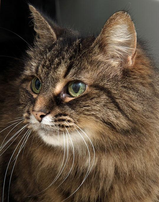 Princess is a wonderful senior kitty at 14 years of age.  Like wine, she has just gotten better with age.  She is super sweet and would love an owner to grow old with.  Stop by HAWS today to meet her :)